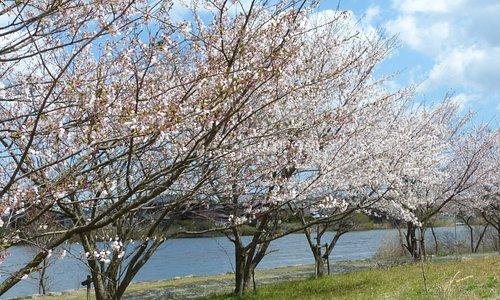池畔の満開の桜並木です。