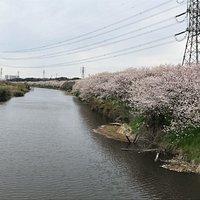 花見川は、印旛沼から東京湾までの放水路のうち、八千代市大和田にある「大和田排水機場」より下流の部分です。この川は昔からのものですが、昭和41年(1966年)に大和田機場ができて以降、印旛沼の水を機場のポンプで揚水して放水できるようにしています。 川沿いは遊歩道となっており隠れた散策場所として人気です。