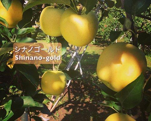 Shinano gold