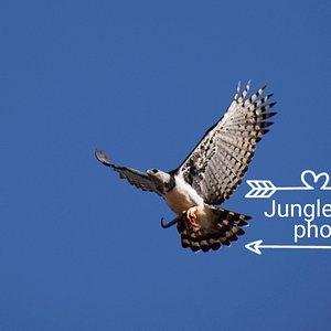 Harppy eagle.