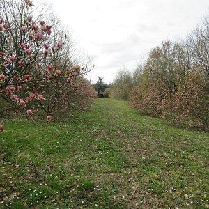 allée des magnolias