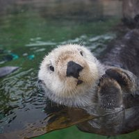 Meet our three rescued sea otters, Schuster, Oswald and Nuka!
