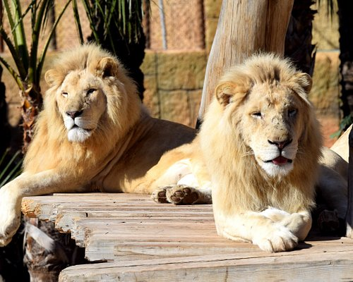 Leones blancos en Río Safari Elche.
