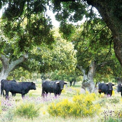 Toros bravos en la ganadería