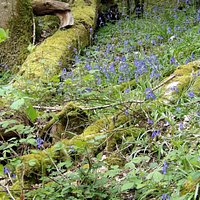 These bluebells were still abundant in early May, but are even more profuse earlier.