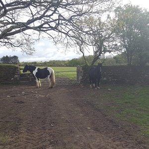 Pony in field St Breward