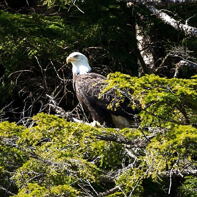 American eagle scanning the water for fish from its perch.