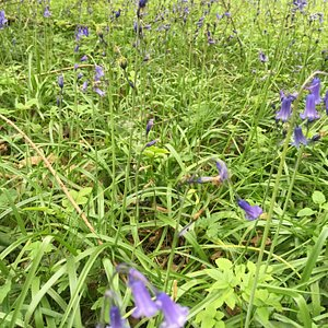 April May is a great time to see the bluebells