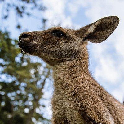 Meet our resident and ambassador kangaroos!