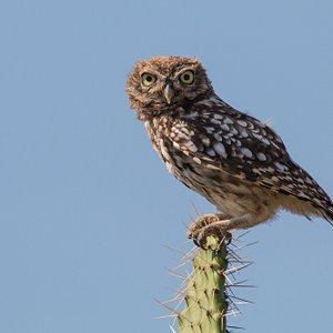 Little Owl in Tarifa countryside / Mochuelo en la campiña tarifeña