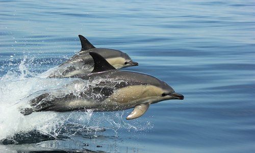 Common dolphin ... jumping