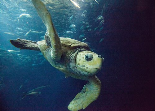 Caretta the star of our Great Ocean Tank