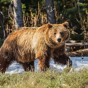 A Grizzly Bear emerges in spring.