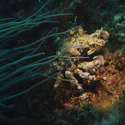 Inachus phalangium (spider-crab), hidding bellow Anemonia sulcata (grean anemone).