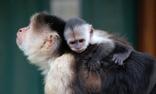 Lulu, the white throated capuchin and her baby Malou