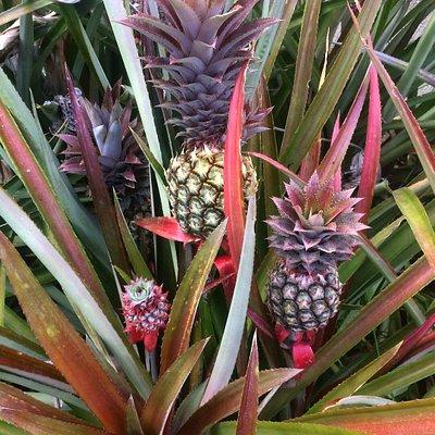 Barbados Black pineapples.
