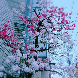 一树2色花,这株特别的樱花树惊艳了路人。