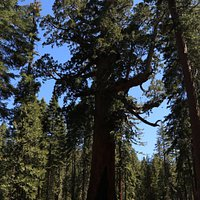 Grizzly Giant Tree in the Mariposa Grove