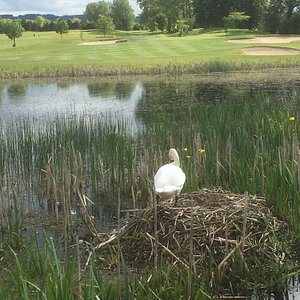 Swan nesting on the lake on the course