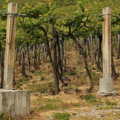 Vines are trellised above shoulder height