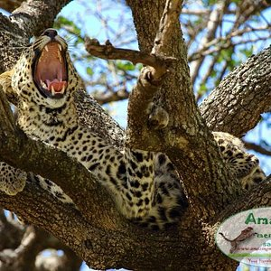 Leopard at Masai Mara Game Reserve. Feeling dizzy after a heavy lunch