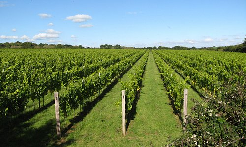 This is our vineyard.  We have 30 acres under vine, to find out more please book on one of our guided tours or turn up during opening hours to take a self-guided tour.  Please see our website for more details www.langhamwine.co.uk.