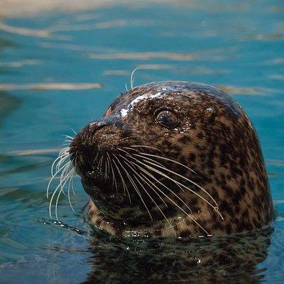Luseal the Atlantic Harbor Seal