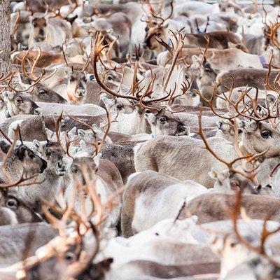 Autumn round-up of reindeer