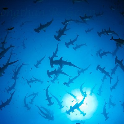 Hundreds of hammerheads above us - looking up to the surface.