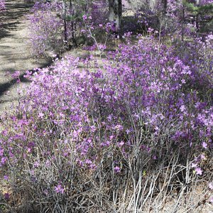 Memory Park, Chita, Russia. A photo of the purple, Bagulnik (Багульник) / Ledum / Wild Rosemary / Рододе́ндрон дау́рский plants that bloom in the month of May.