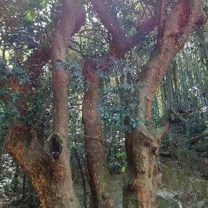 3本の木が一樹となっています