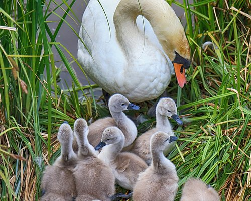 Hampden Park Swan and Cygnets