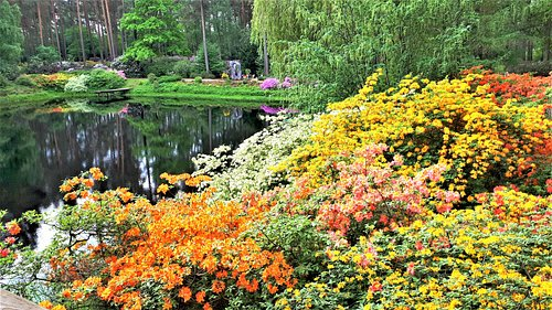 The rhododendron garden of Latvian University in Spilve