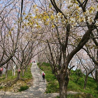 山が桜で覆われる光景は、圧巻です!