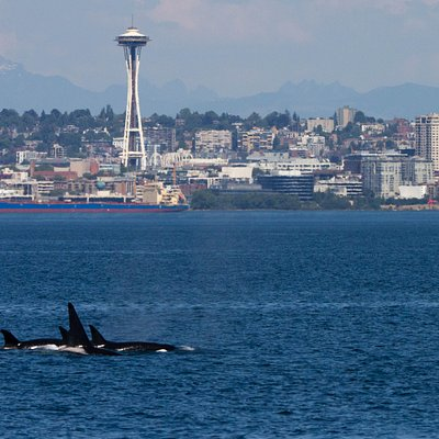 Transient orcas near Seattle