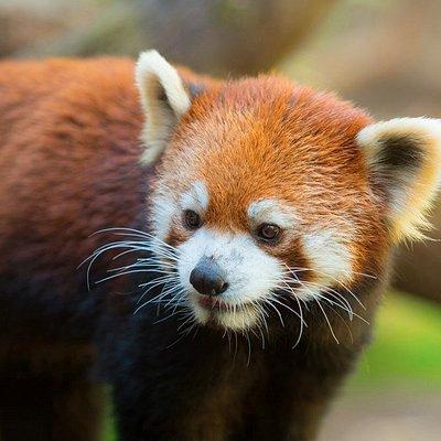 Red panda Mei Mei explores her habitat.