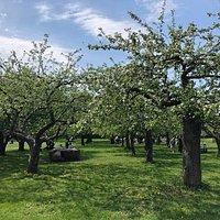Fruktträdgården på Rosendals Trädgård. The orchard at Rosendals Trädgård.