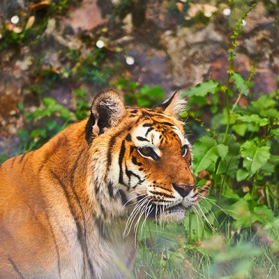 Once a thriving population all over India and other parts of the world, now reduced to a handful of a number, due to poaching, habitat fragmentation, Animal/human conflict and deforestation. This Big Cat is an amazing creature, also known as the 'Ultimate Predator', was rescued from the forest for her rehabilitation process. Visit us to more about them and help in the Big Cat conservation. #NainitalZoo #Nainital