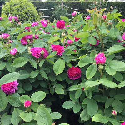 rose rosa de recht