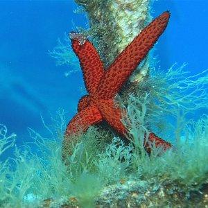 Stunning starfish taken by Trevor Prager at the P29 Cirkewwa