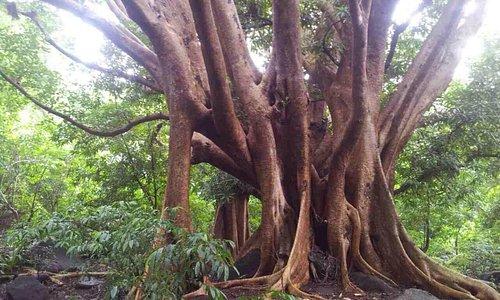 des arbres immenses source de vie