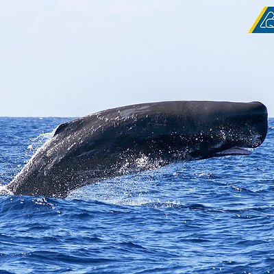 Spermwhale breaching