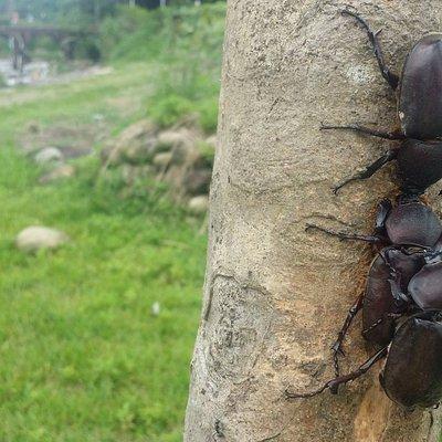 You can find a lot of beetles (Unicorn) in Daping Hongqiao, Taoyuan Longtan