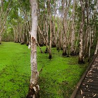 Pretty boardwalk through the Paperbark Trees