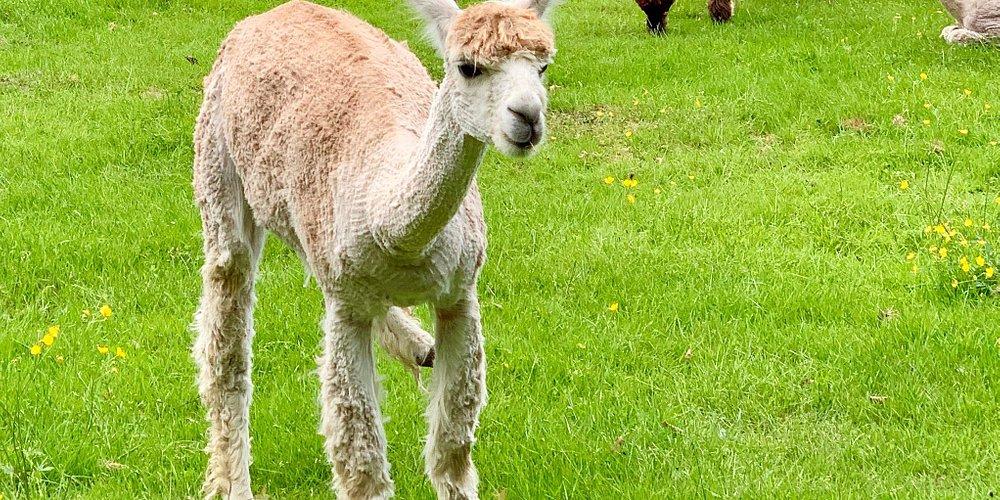 Alpacagården har nogle søde dyr, men det er en meget dyr fornøjelse at se dem. En familie med to voksne og to børn koster mere end 200 SEK.   Cafeen byder på kaffe og en vaffel. Vaflen koster 45 SEK. For en. Med flødeskum og syltetøj.
