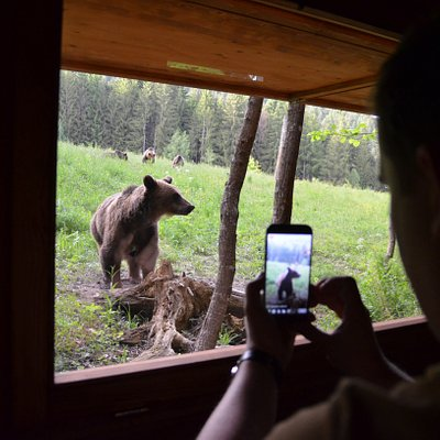 Bear watching in the wild - day trip from Brasov