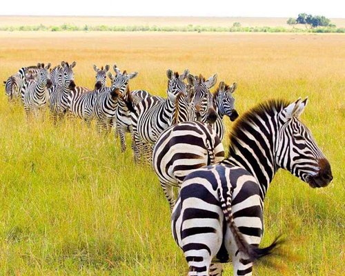 Amazing Zebra crossing