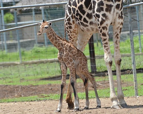 Proudly announce the new born of our Baby Giraffe during 1st day of Iftar Ramadan.