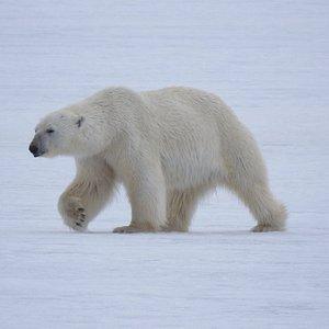 Polar Bear   Polar Charter Trip