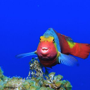 Atlantischer Papageienfisch